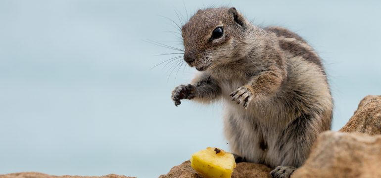 wildlife-mammal-squirrel-rodent-fauna-whiskers-266046-pxhere.com