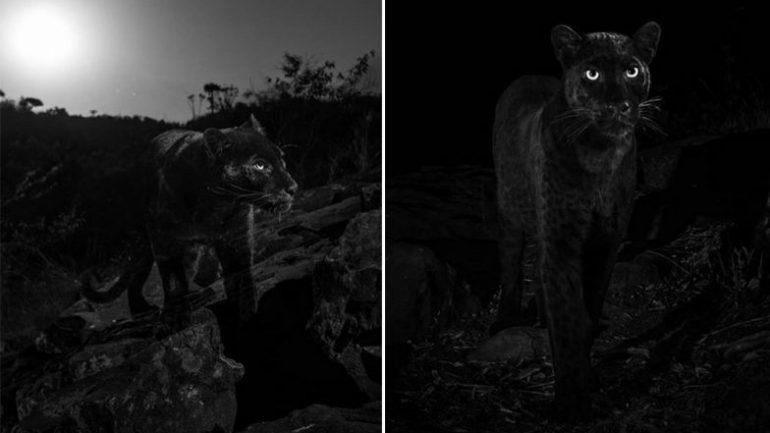 black-leopard-784x441