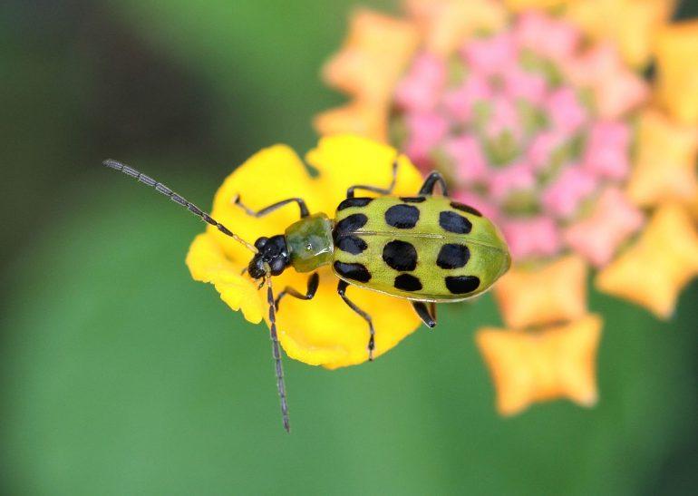 cucumber-beetle-on-flower