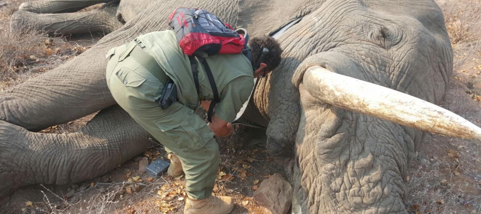 elephant-ivoire-braconnage-mozambique