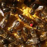 LES APICULTEURS ONT DONNE L'ALERTE A MOSTAGANEM : Les abeilles menacées de maladies et par les pesticides