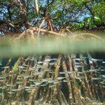 Le Sénégal mène la plus grande campagne mondiale de reforestation de mangrove