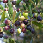 L'olivier : un patrimoine Amazigh en péril ?